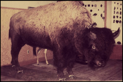 Buffalo Now Mounted and on Show at Museum